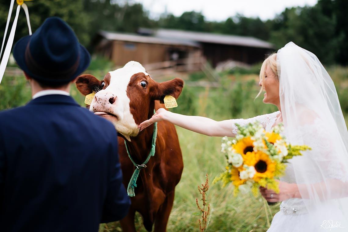 svatební fotografie novomanželů s krávou
